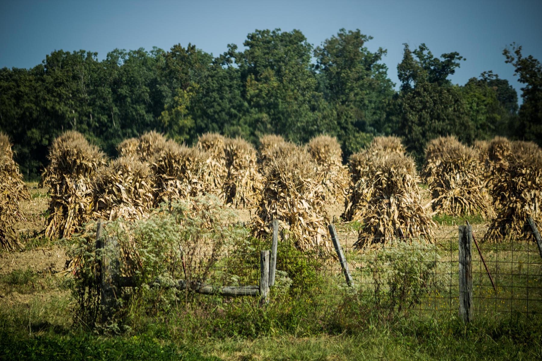 Amish corn rows.