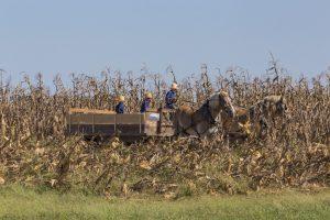 Amish boys in wagon peeling corn.