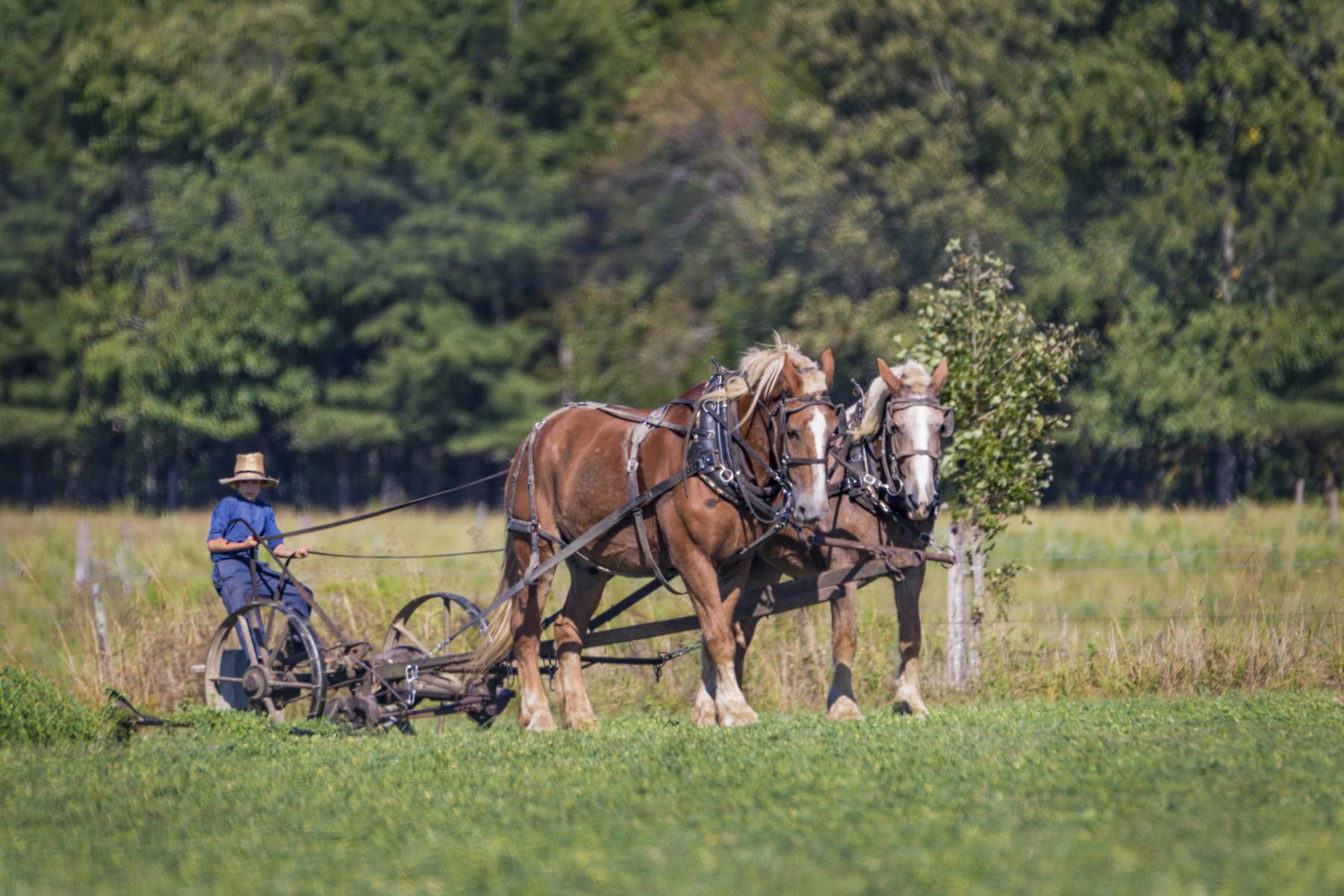 Amish boy cutting grass.